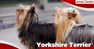 Yorkshire Terriër